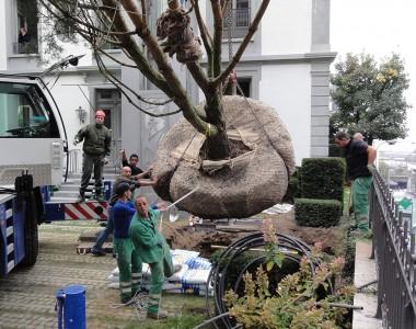 Plantation, grand arbre